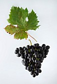 The Bondola grape with a vine leaf