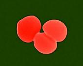 Staphylococcus aureus, SEM