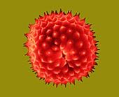 Ragweed pollen (Ambrosia psilostachya), SEM