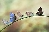 Five butterflies on a plant stem