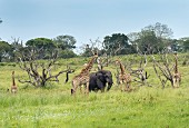 Giraffes and an elephant in the iSimangaliso Wetland Park, a wildlife park in South Africa