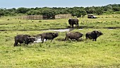 Buffalos in the iSimangaliso Wetland Park, a wildlife park in South Africa