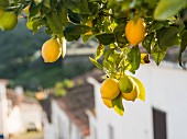 Lemons from the Alentejo region in Portugal
