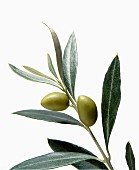 An olive branch on a white background