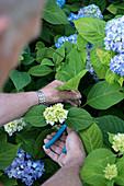 Mann schneidet Hortensienzweig ab (durch Stecklinge vermehren)