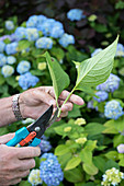 Hand hält abgeschnittenen Hortensienzweig (durch Stecklinge vermehren)