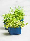 Fresh spring green live radish kress sprouts in blue plastic pots over white marble background