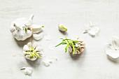 Several germinating white garlic bulbs (top view)