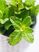 Fresh mint in a small cup