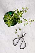 Fresh oregano in a glass jar (top view)