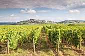 Sancerre Vineyards with Pinot Noir and Sauvignon Blanc vines (France)