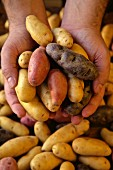 Hands holding different varieties of finger potatoes