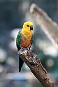 Jandaya parakeet in a tree
