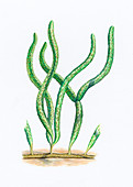 Margaretia dorus, illustration