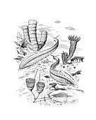 Pikaia swimming in a Cambrian sea, illustration