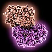 Hepatitis C virus RNA polymerase