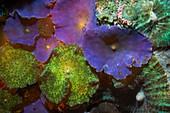Disk anemones