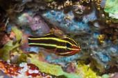 Blackstripe cardinalfish and parasitic crustacean