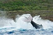 Humpback whale lobtailing