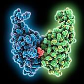 Programmed cell death 1 ligand