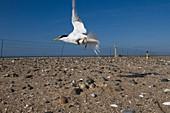 Little tern conservation