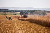 Rapeseed harvesting