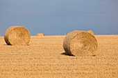 Bales of straw after harvesting