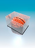 Human brain in transparent box