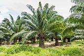 Oil palm trees plantation