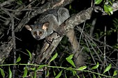 Greater Galago photographed at night