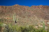 Saguaro cactus and desert flora