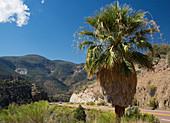 Palm tree beside road, Salt River Canyon, USA