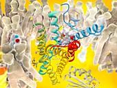 THC and cannabinoid receptor, molecular model