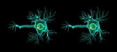 Motor neuron, stereogram images