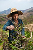 An Asian woman harvesting tea leaves (Kalaw Shan, Myanmar, Burma)