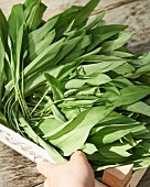 Fresh wild garlic in a wooden crate