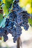 Red wine grapes on the vine at the Nittardi winery in Tuscany, Italy