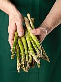 A gardener holding raw green asparagus