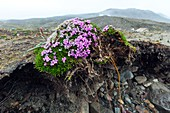 Moss campion eroded by stream