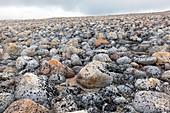 Boulders on raised beach