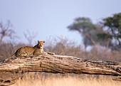 Leopard basking