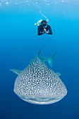 Snorkeler and Whale shark