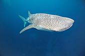 Whale shark, Bohol Sea, Philippines