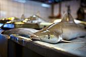 Juvenile shark for sale