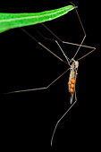 Mites on crane fly
