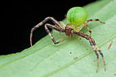 Crab spider on a leaf