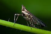 Long-nose planthopper