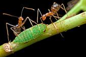 Ants milking planthopper