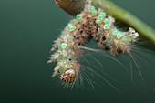 Parasites on caterpillar