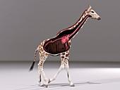 Giraffe anatomy, illustration